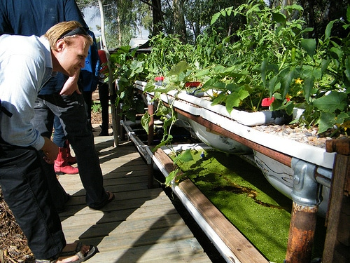 inspecting the growbeds with fish food makers beneath