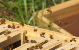 Bees taking flight from a warre hive on a sunny day, off in search of nectar and pollen for thier extended family