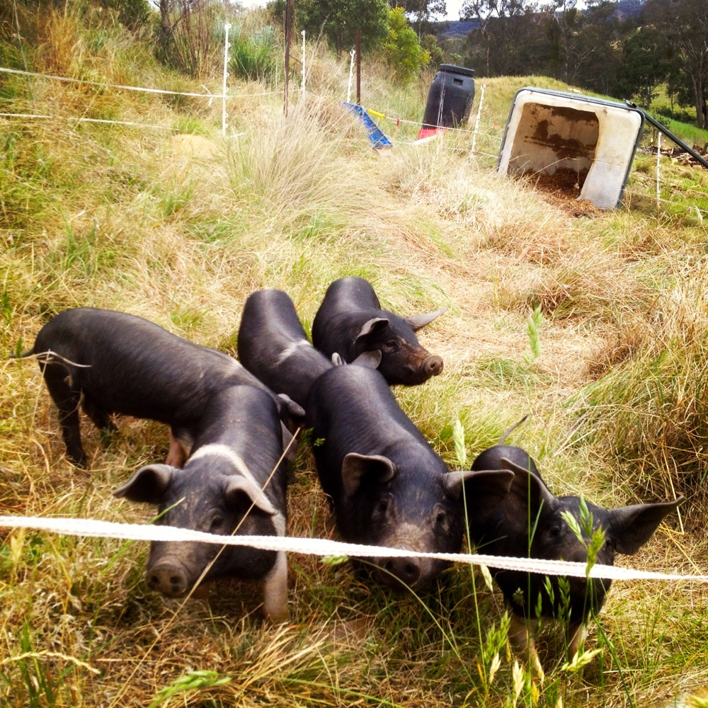 Training The Piglets About 2 Strand Electric Fence Milkwood Joining Fencing Wire Figuring