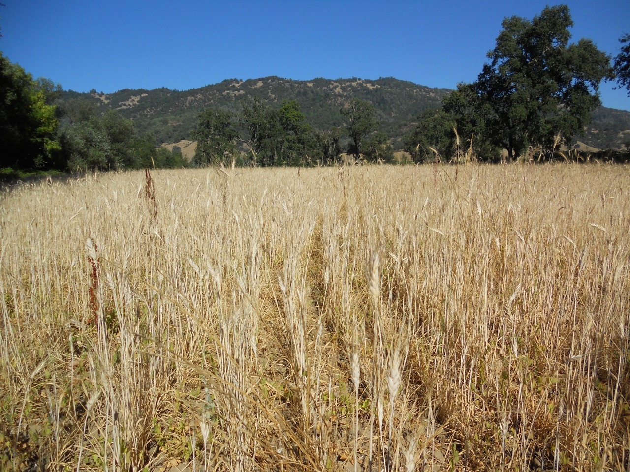 Small-scale durum wheat crop - photo by Mendocino organics