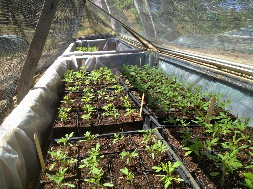 milkwood tomatoes 02