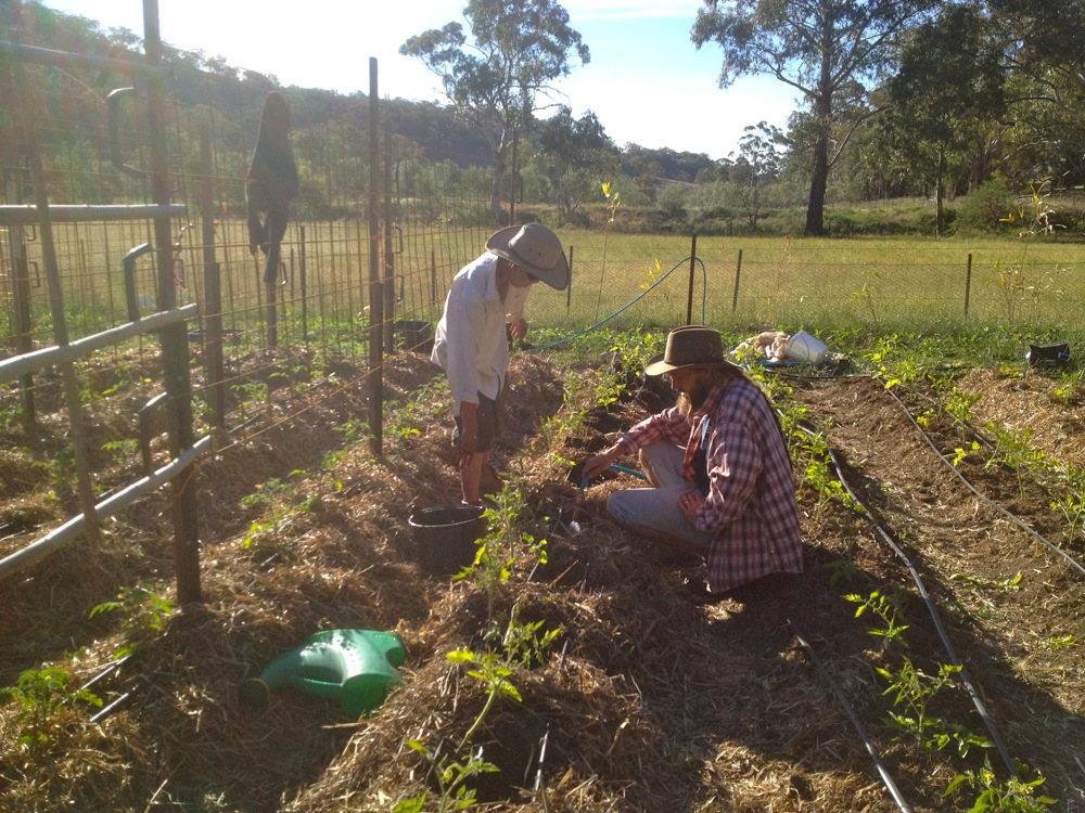Jeremy and Damien planting the romas