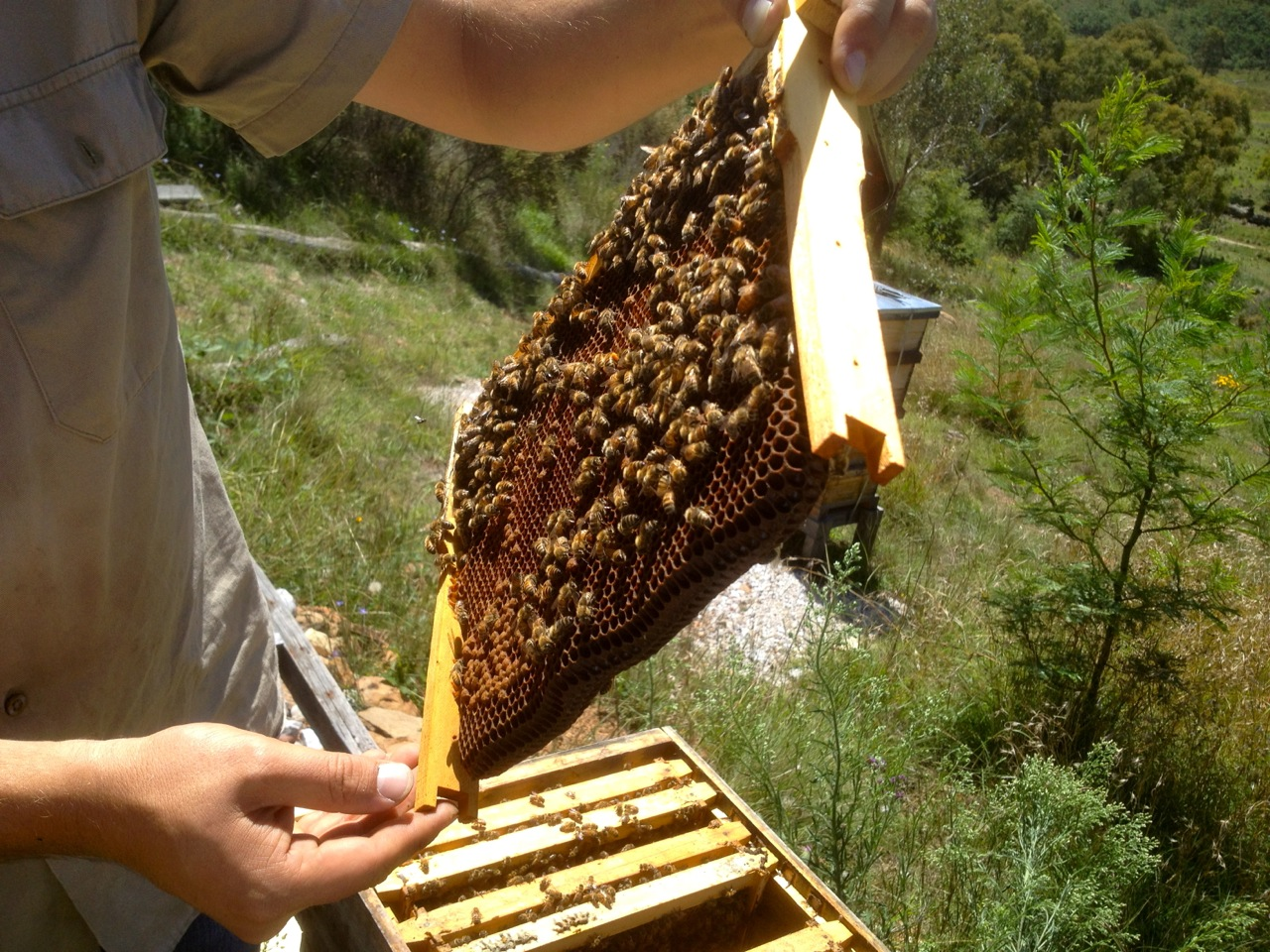 The bees. All good, queens laying, babies being born. But no good honey stores.