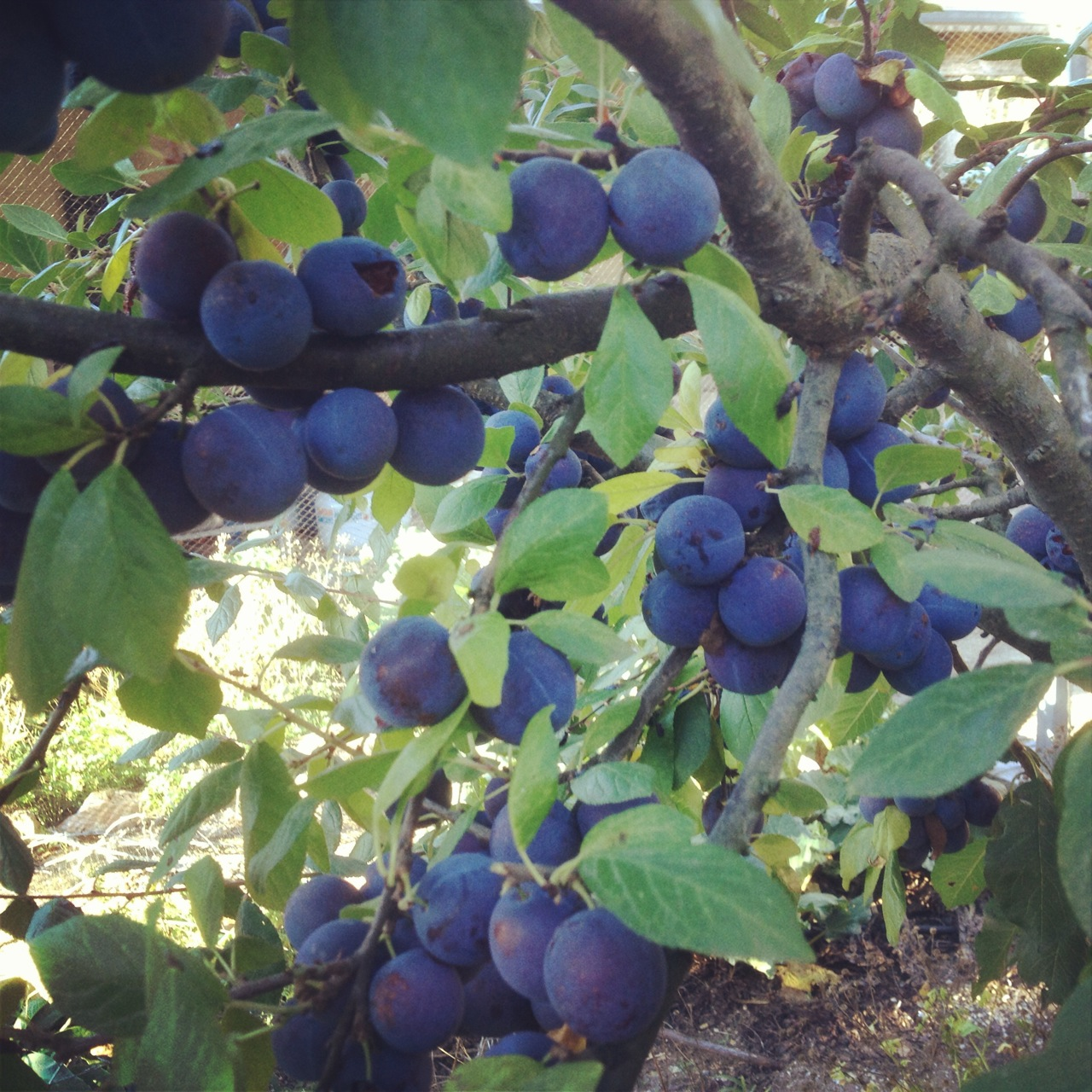 Damsons on the tree at Allsun Farm