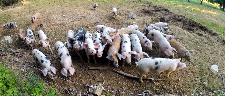 Moving The Pigs At Polyface Farm Milkwood Permaculture Courses Skills Stories