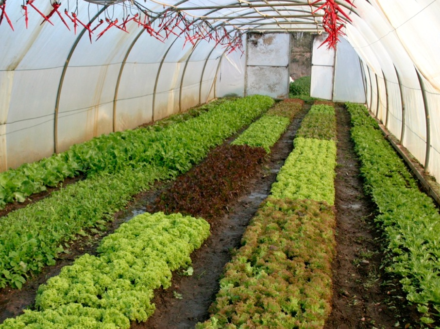 Organic salads at Allsun Farm in early spring, benefitting from the protection and warmth of a movable greenhouse