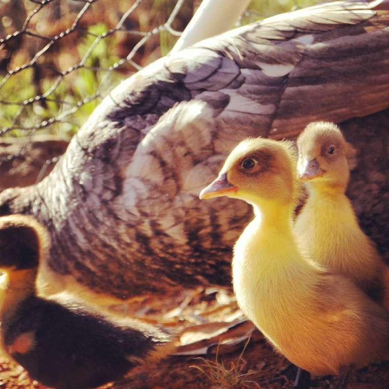 Muscovy Ducks  a great homesteading breed - Milkwood  permaculture ... 470c7cc8a