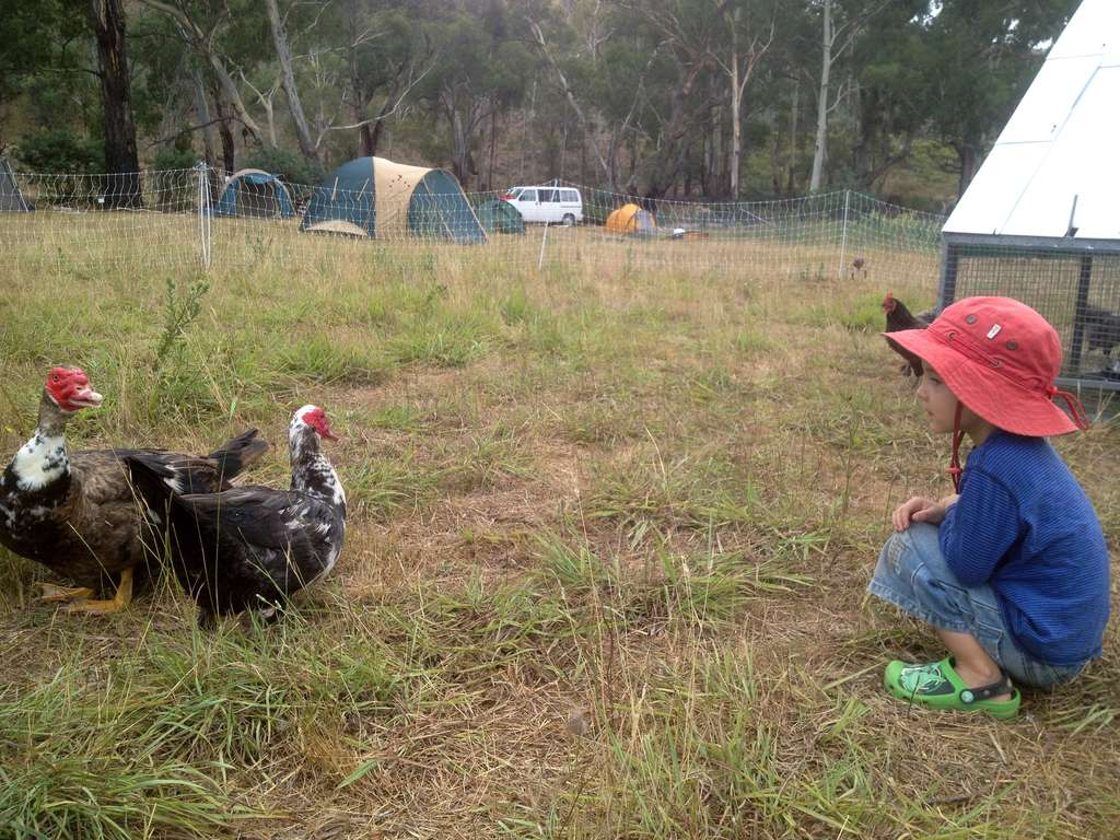 muscovy ducks a great homesteading breed milkwood permaculture