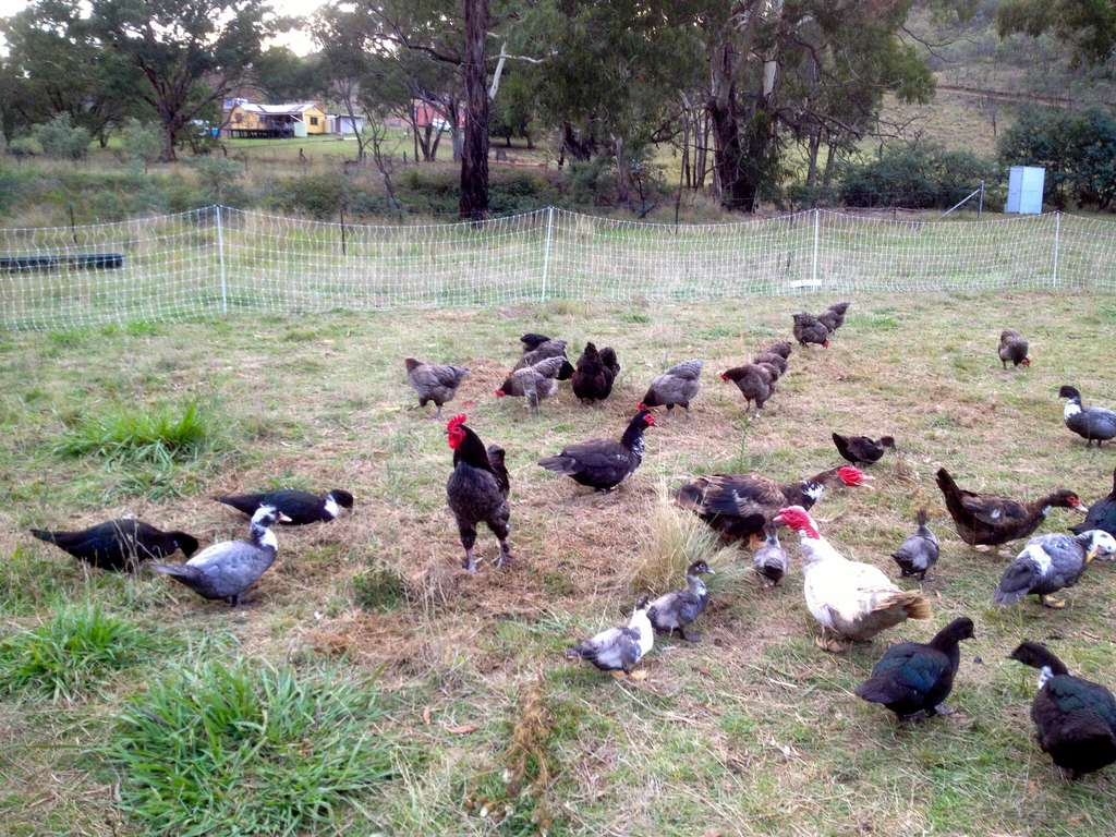 Muscovy Ducks: a great homesteading breed - Milkwood