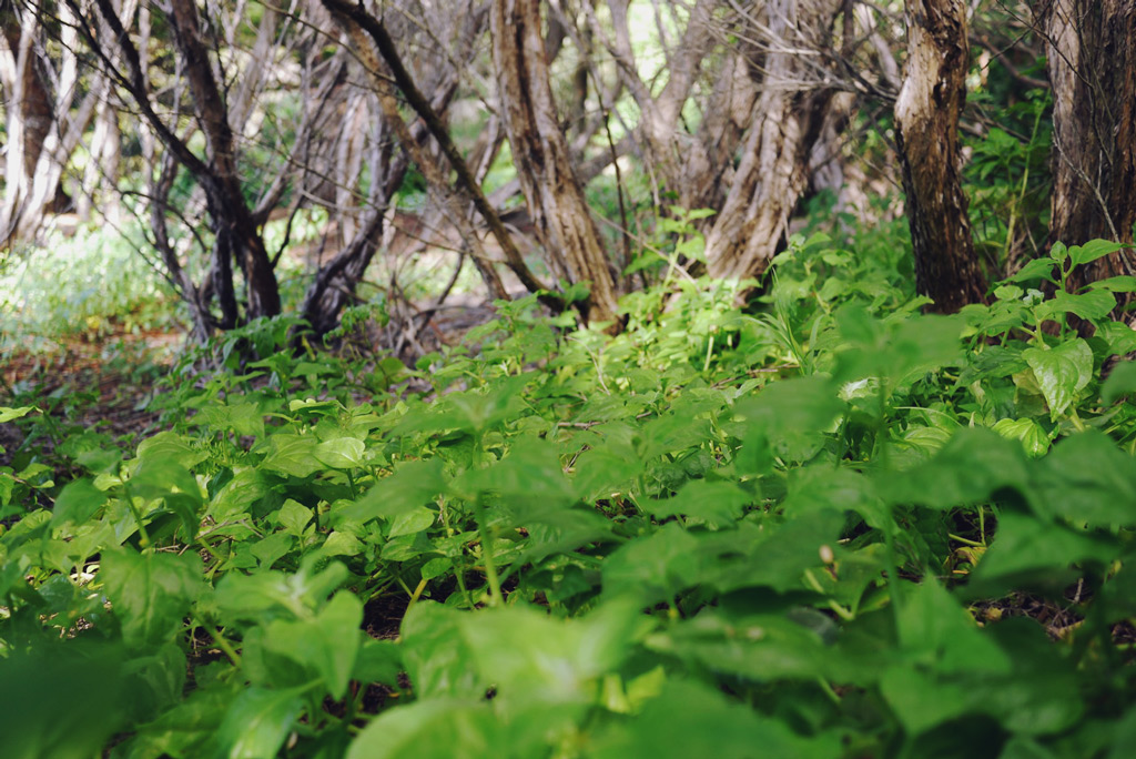 foraging-warrigal-greens-07