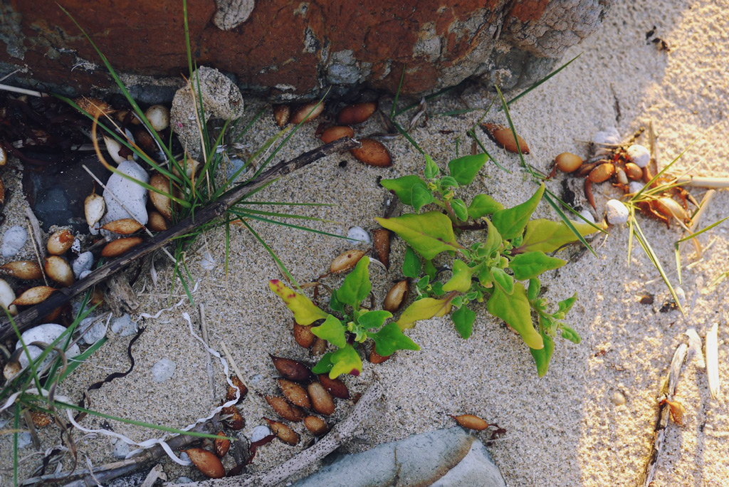 warrigal greens pioneering an estuary beach
