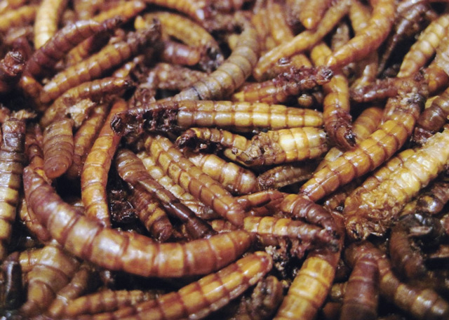 Dried mealworms - 65% protein and potentially 0% footprint.