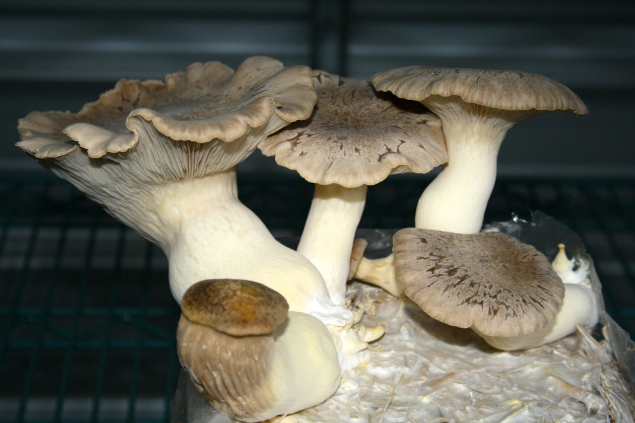 1410 gabe's mushrooms - 13