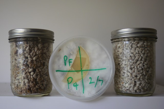 How to make mushroom grain spawn at home