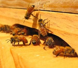 NBK bees