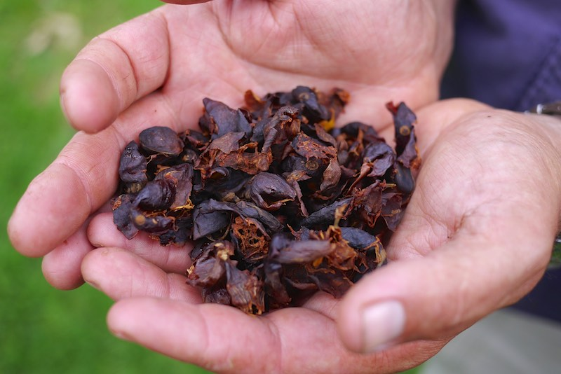 cascara tea 278