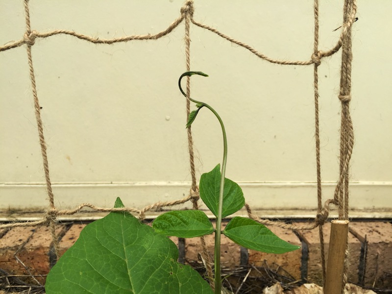 DIY Trellis Ideas for Beans Peas and how they re different